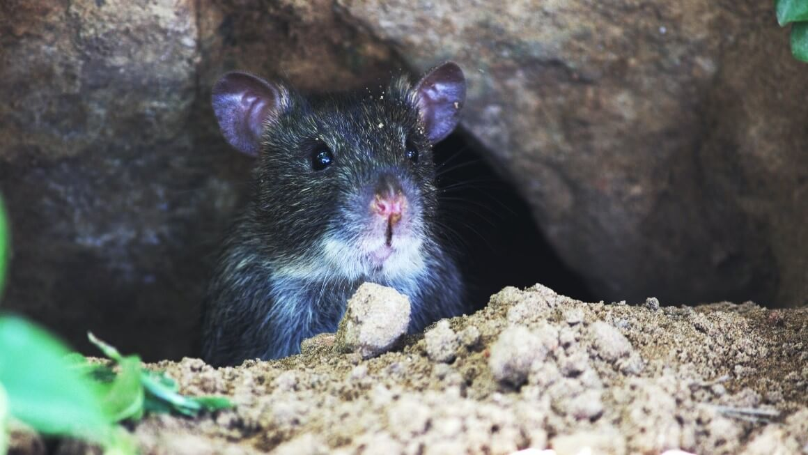 They might look adorable, but mice can do a lot of damage in a house.