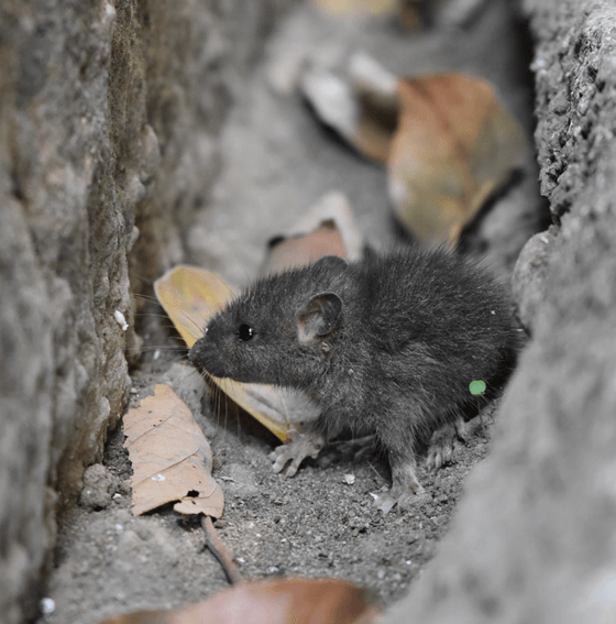Mice can infiltrate anywhere, even places you don't expect them to.