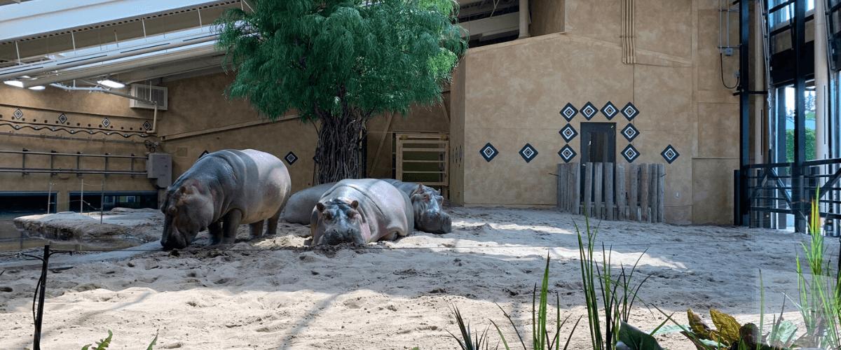 La famille de hippos du Zoo de Granby profite de son nouvel habitat.